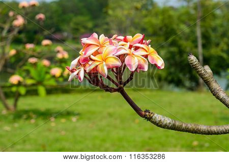 Frangipani flowers. Frangipani feel refreshed when nearby
