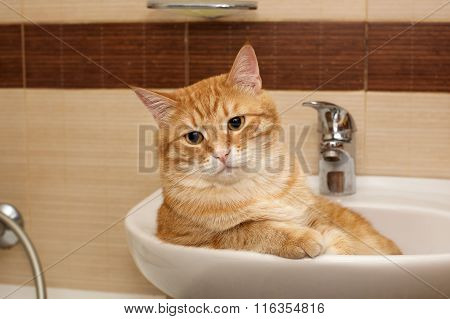 Big Cat Lying In  Sink