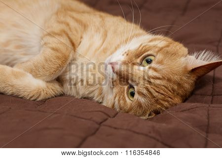 Big Ginger Cat  On The Bed