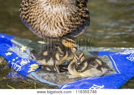 Mallard ducklings sitting on rubbish in a river