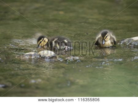Mallard ducklings swimming in the river in the Spring