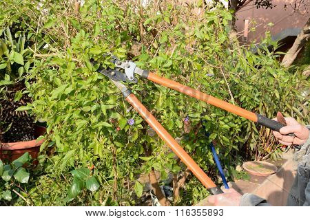 Pruning of a shrub