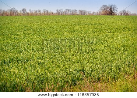 View Of Boundless Green Wheat Field Upto Forest On Horizon