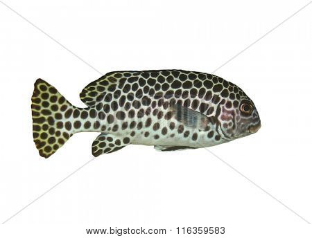 Tropical fish isolated white background: Andaman Sweetlips