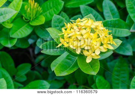 yello and Leaves Ixora Flower in the garden