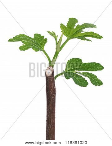 Young Fig Sprout