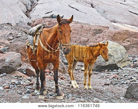 Horses For Transportation Goods In The Mount Kasbek Area,, The Holy Mountain In The Caucasu
