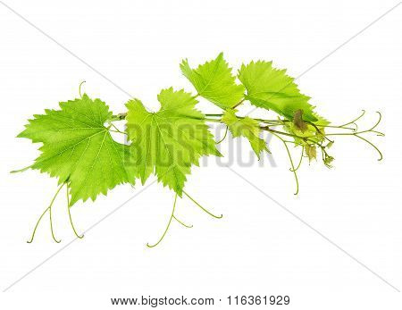 Vine Leaves Branch Isolated On White Background