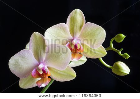 Beautiful yellow orchid on black background