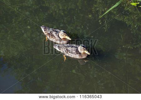 Ducks Swimming In The Lake