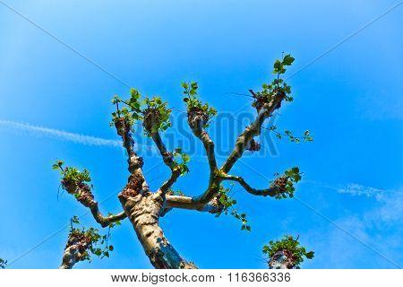 Plane Tree With Blue Sky