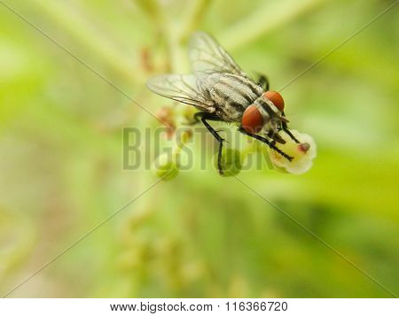 Tiny fly insect
