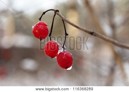 Red berry viburnum.