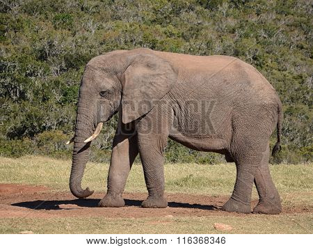 African Elephant Side