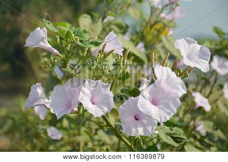 Bush Morning Glory flower in garden
