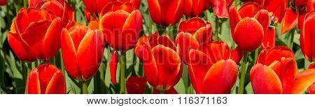 Tulip Culture