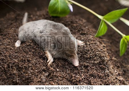 Mole Out Of Soil