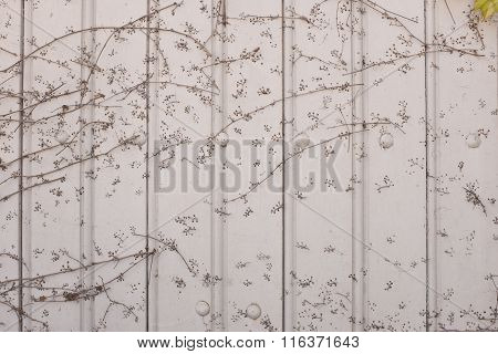 Aged  Wooden Panels With Ivy Growing Down One Side