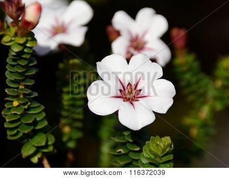 Adenandra Villosa (China Flower)