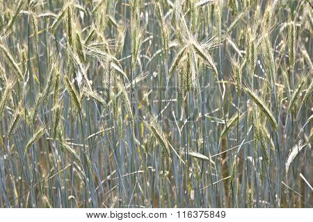 Pattern Of Wheat In The Field In Springtime