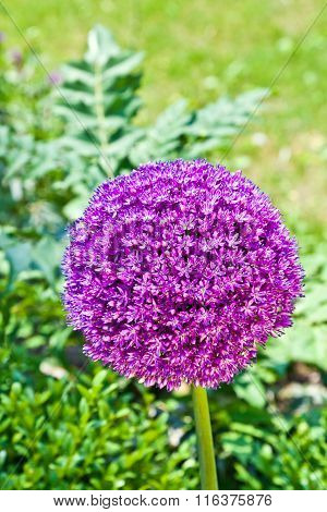Beautiful Spring Lilac Allium Surrounded With Green Leaves.