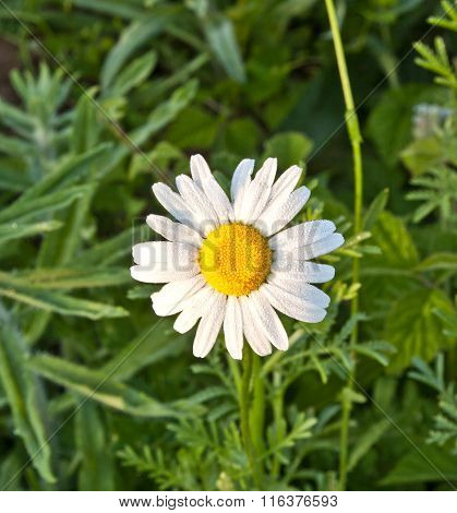 Chamomile  In The Meadow