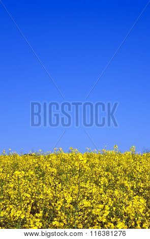 Yellow Rape Field In Spring