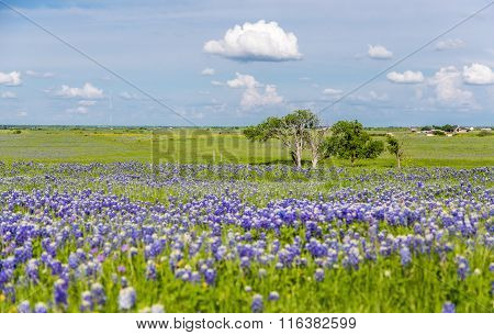 Bluebonnet Field In Ennis, Texas