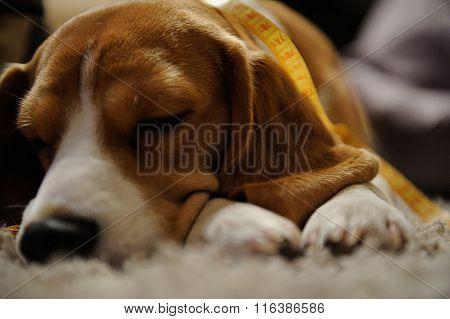 Dog Sleep On Floor