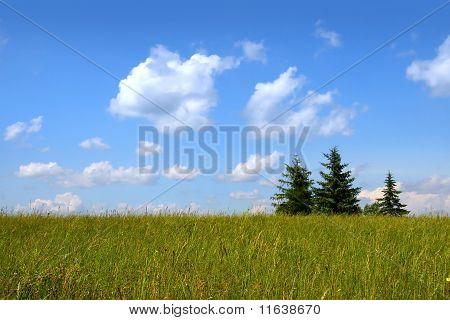 Three pine trees in a meadow