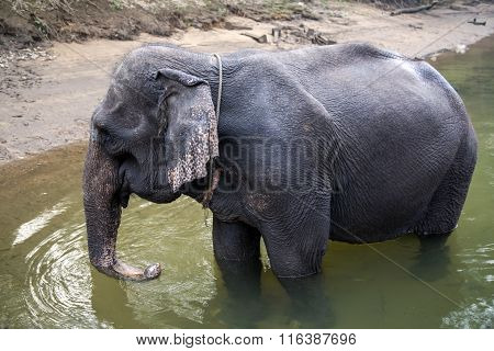Young Thai elephant at the watering on the River Kwai