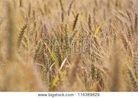 Spica Of Corn In The Field In Beautiful Light