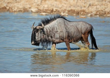 Blue wildebeest (Connochaetes taurinus) walking in water, Etosha National Park, Namibia