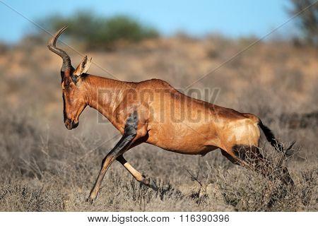 Red hartebeest (Alcelaphus buselaphus) sprinting, Kalahari desert, South Africa