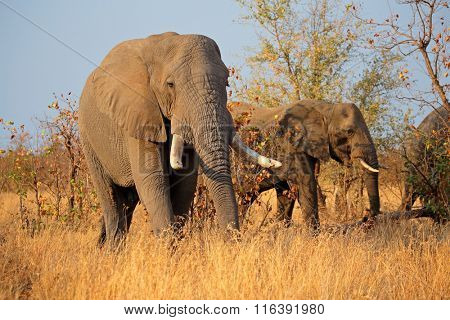 Large African bull elephants (Loxodonta africana), Kruger National Park, South Africa