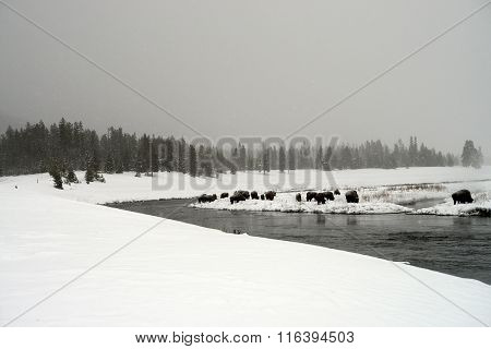 Yellowstone American Bison Herd