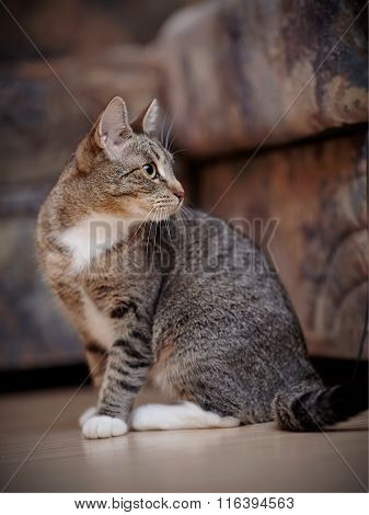 The Striped Domestic Cat With White Paws