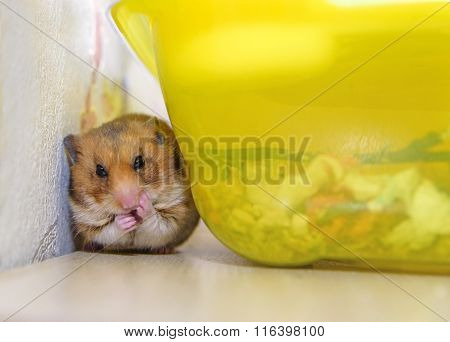 Hamster sitting and clean Near its Cage