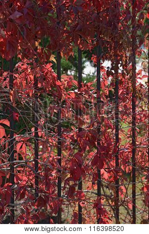 Background Of Red Autumnal Creeper Grape Lush Foliage On Fence.