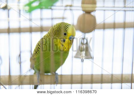 Budgerigar in The Birdcage. Budgie