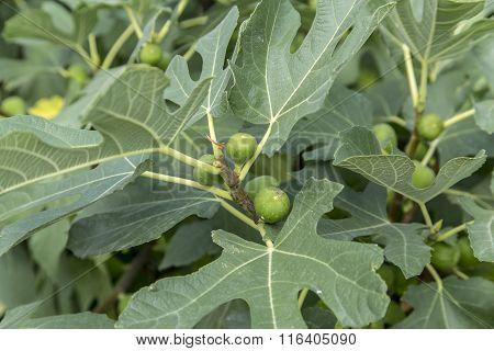 Unripe figs on tree branch