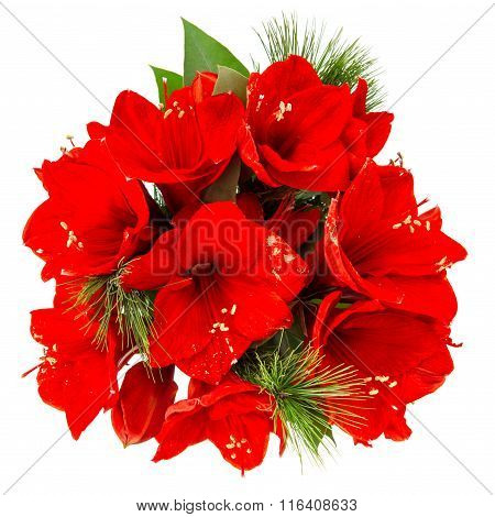 Amaryllis Blossoms. Red Christmas Flowers Bouquet