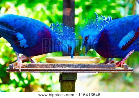 Feeding Of A Group Of Western And Victorian Crowned-pigeon, Exotic Bird