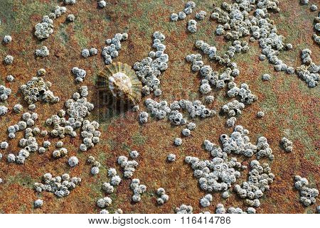 Aquatic Snail, Limpet Shell On A Rock