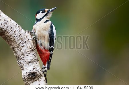 Male Great-spotted Woodpecker+