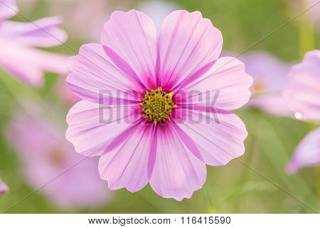Cosmos Flower In The Field With Blurred Background