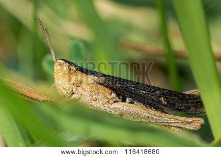 Heath grasshopper (Chorthippus vagans) with dark wings