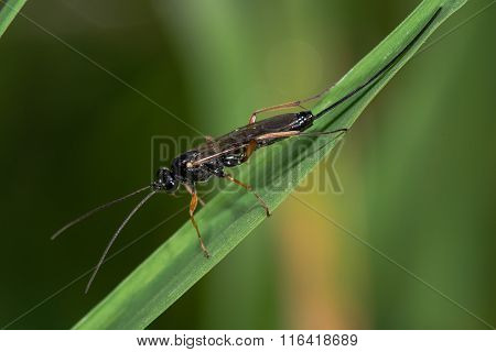 Buathra laborator parasitic wasp