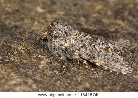 Large ranunculus moth (Polymixis flavicincta)