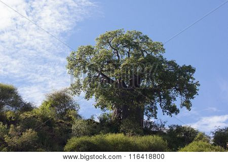 Baobab tree (Adansonia digitate) in Africa